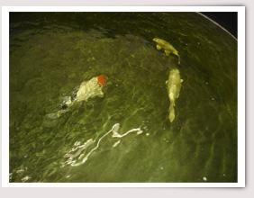 Willkommen beim koi brunnen for Welche fische im teich